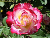 Роза Double Delight (Двойное наслаждение)