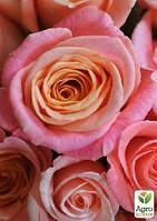"""Роза чайно-гибридная """"Мисс Пигги"""" Суперцена!"""