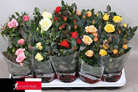 Роза Kordana