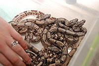 Імператорський удав, ручні змії