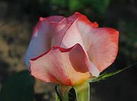 Роза Летиция Каста. Чайно-гибридная., фото 1