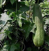 Люффа (семена) 10 шт