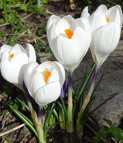Крокус крупноцветковый Jeanne d'Arc, 5 луковиц