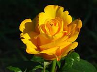 Роза Керио. Чайно-гибридная.  , фото 1