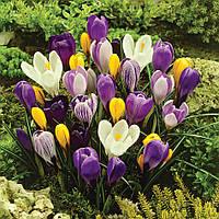 Крокус крупноцветковый микс цветов, 10 шт