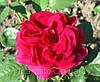 Английская роза Л. Д. Брейтвейт. (вв).