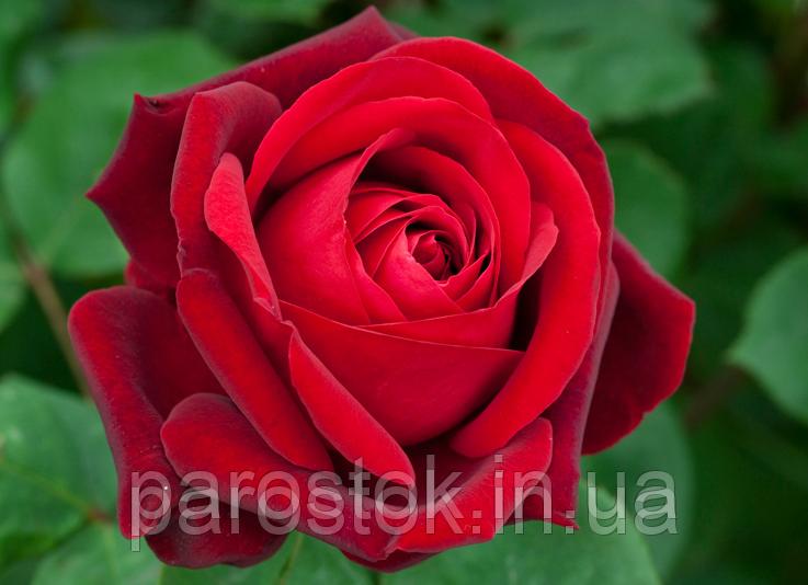 Роза Эдит Пиаф. (чайно-гибридная)