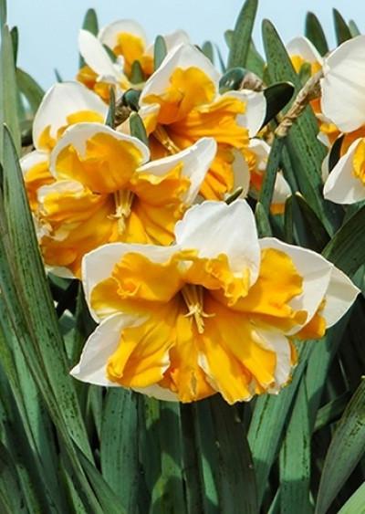 Нарцисс Split Corona Orangery