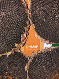Семена подсолнечника под ЕвроЛайтинг ОСМАН, Высокоурожайный подсолнечник. Устойчив к заразихе и засухе. Экстра, фото 4