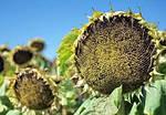Как выбрать гербицид для подсолнечника
