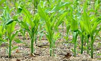 Выбор и применение гербицидов для кукурузы