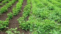 Гербицид для картофеля: трудный выбор