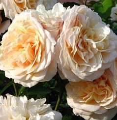 Роза английская Эскалибур (Excalibur)
