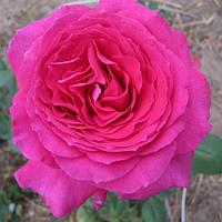 Роза чайно-гибридная Юрианда (Jurianda)