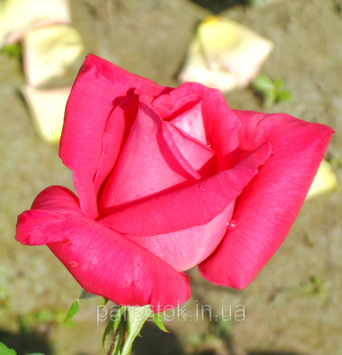 Роза Лолита Лемпика. (в). Чайно гибридная