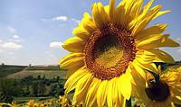 Семена подсолнечника Украинский F1 (быстрый старт)