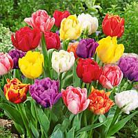 Тюльпан МАХРОВЫЙ микс цветов, 10 шт