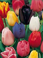 Тюльпан Триумф микс цветов, 10 шт
