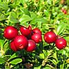 Саженцы брусники Коралл (Vaccinium vitis-idaea Koralle) в контейнере 1л.