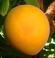 Саженцы абрикоса ГОЛД РИЧ (двухлетний) среднего срока созревания