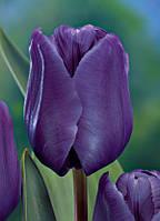 Тюльпан Blue Aimable 3шт, фото 1