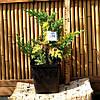Ялівець лускатий - Juniperus squamata Golden Flame