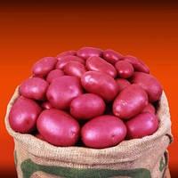 Крістіна насіннєва картопля овальна рання 2 репродукція ipm potato group (5 кг 25 кг) Картопля, Сорт, 25 кг