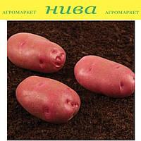Торнадо насіннєва картопля овальна рання 1 репродукція ipm potato group (5 кг 20 кг)