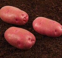 Торнадо насіннєва картопля овальна рання 1 репродукція ipm potato group (5 кг 20 кг) Картопля, Сорт, 20 кг