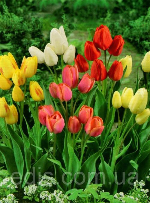 Набір Сімейка (9 цибулин тюльпанів мультифлора)
