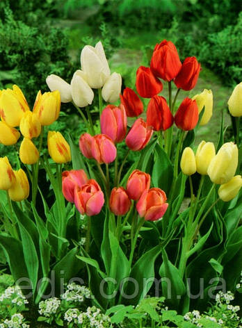 Набір Сімейка (9 цибулин тюльпанів мультифлора), фото 2