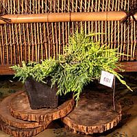 Ялівець середній - Juniperus media Gold Coast