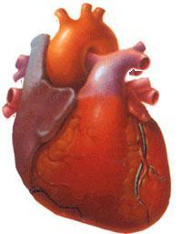Сердечнососудистая система