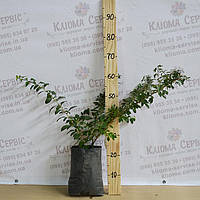 Саженцы годжи сорт Биг (Big) 3-летние, пекет 5 л, фото 1