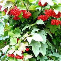 Калина красная Садовая 1
