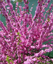 Саженцы миндаль трехлопастной, Луизиания Декоративный кустарник розовый