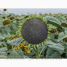 Семена подсолнечника ЕС Аркадия под Гранстар