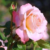 Августа Луїза (Augusta Luise) саджанці троянди чайно-гібридної абрикосової Dekoplant