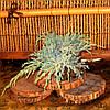 Ялівець лускатий - Juniperus squamata Blue Carpet