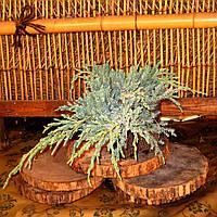 Ялівець лускатий - Juniperus squamata Blue Carpet, фото 1