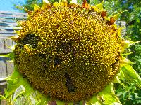 Семена подсолнечника Пионер (Pioneer) среднеранний гибрид ПР64Ф66