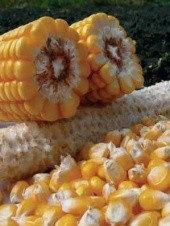 Семена кукурузы - Р7709 Pioneer