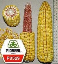 Семена кукурузы - Р8529 Pioneer