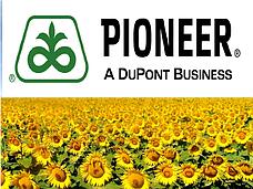 Семена подсолнечника Пионер (Pioneer)