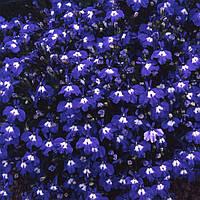 Семена цветов Лобелии  Регата синяя с глазком 200 шт