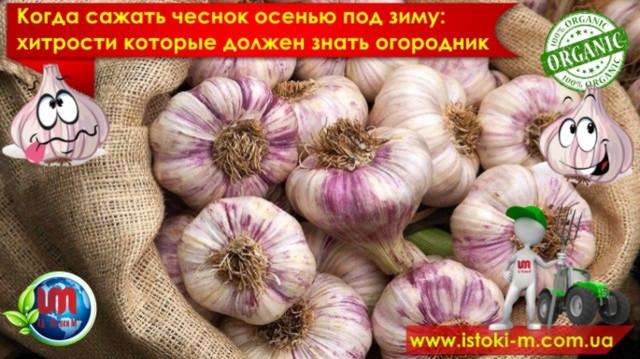 посадка чеснока под зиму какие удобрения вносить_посадка чеснока на зиму в украине_посадка чеснока на зиму в украине какое удобрение_органические удобрения для чеснока_органическое удобрение для посадки и подкормки чеснока