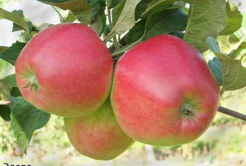 Саженцы яблони сорт Эдера