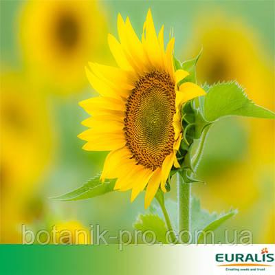 Насіння соняшнику ЄС Яніс під Евролайтинг+