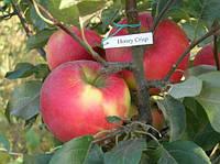 Саженцы яблони сорт Хоней Крисп