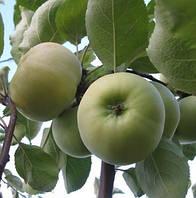 Саженцы яблони сорт Донешта